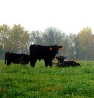 More cows & a calf :)