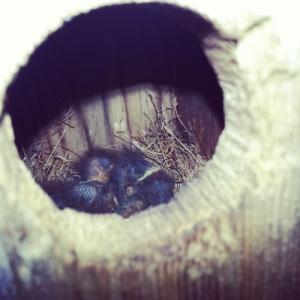 Eastern Bluebird babies!!!