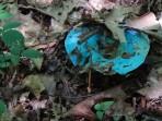 A BLUE fungi!!!